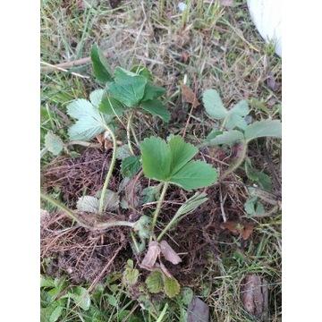Sadzonki truskawek starej odmiany