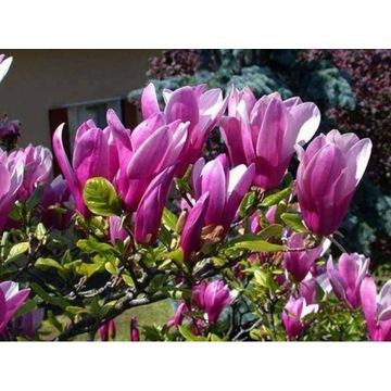 Magnolia ''susan'' wysokosc 30-50cm doniczka
