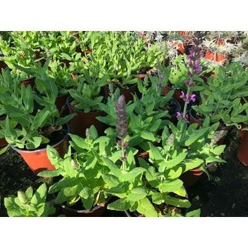 Salvia ,szałwia Deep Blue i Bright Rose