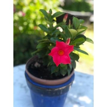 Sundaville pnącze,kolor różowy