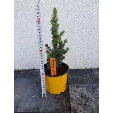 Świerk conica 0.9litra doniczka krzew tuja