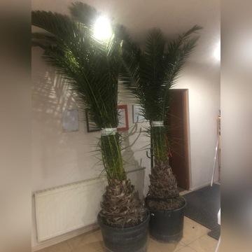Palma królewska Phoenix canarensis 250-320cm