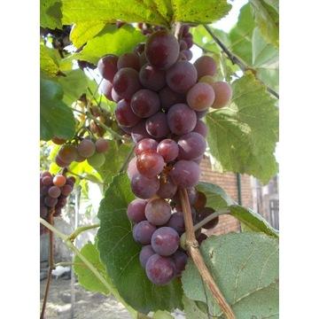Winogron Ekologiczny, Bio