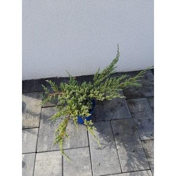 Jałowiec blue chip star 2l doniczka c2 krzew tuja