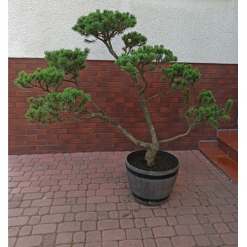 Sosna Formowana Bonsai Ogrodowy