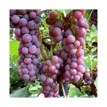 Sadzonki winorośli winogron z Beskidu niskiego 2x