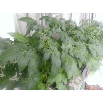 Pomidor Złoty Ożarowski sadzonka wys.10..20cm EKO