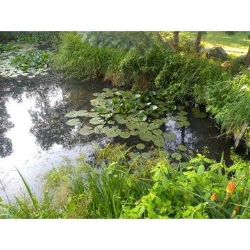 Lilie wodne biale Trzcina