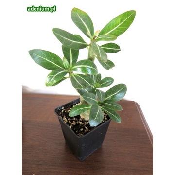Adenium arabicum sadzonka bonsai + nawóz GRATIS