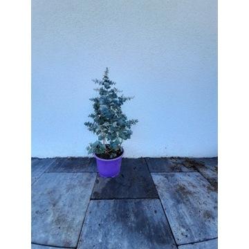 Eukaliptus Gunni gumi górski c2 Wysyłka