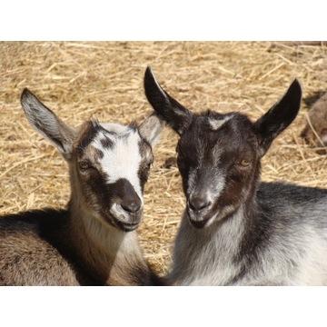 Kozy tegoroczne; koza