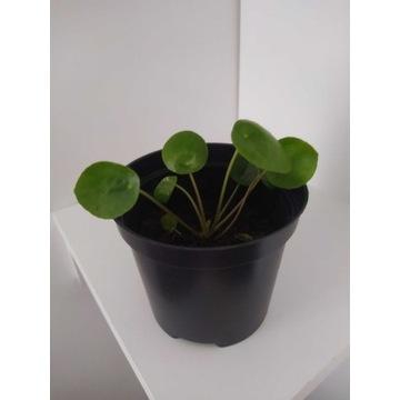 Roślina zielona Pilea pieniążek