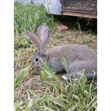 królik belgijski