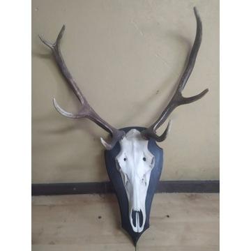 Poroże jelenia z czaszką