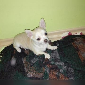 Chihuahua szczeniak czyste pochodzenie