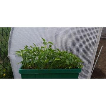 Sadzonki - papryka, pomidory