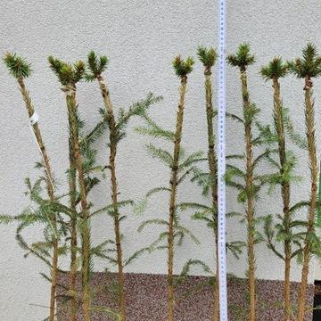 Picea Abies Spring Fire Swierk Pospolity