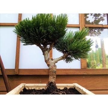 Drzewko bonsai Sosna bośniacka Schmidtii