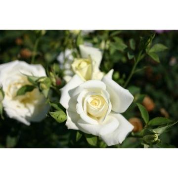 Piękna Polska Róża pnąca biała