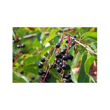 Czeremcha świeże owoce