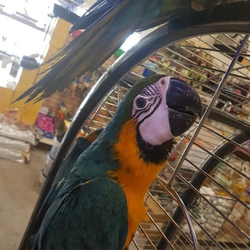 Jaja papug