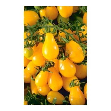pomidor perun