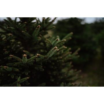 gałęzie jodły do strojenia prezentów  2,5zł