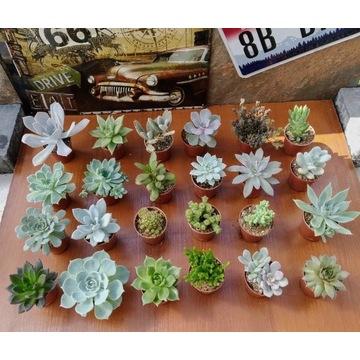 10szt Sukulenty Kaktusy / Podziękowania dla gości