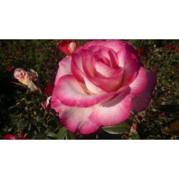 Róża pnąca biała z różową obwódką