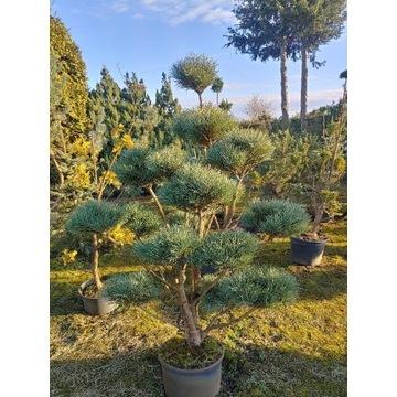 Sosna bonsai niwaki