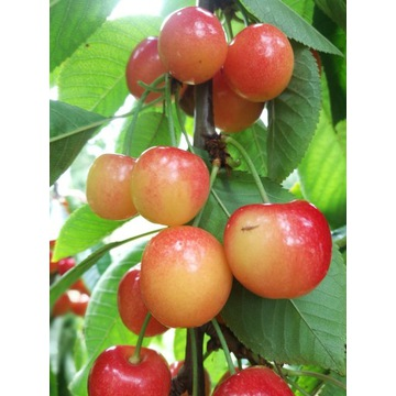 Czereśnia Vega duży owoc  producent !!!