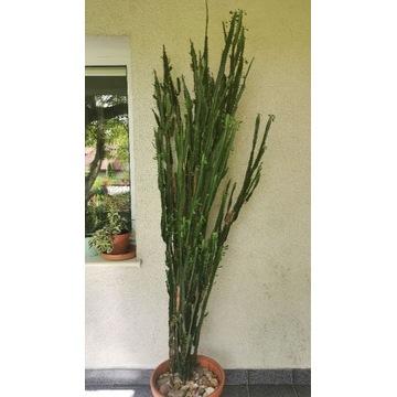 Kaktus Wilczomlecza trójżebrowy 230cm