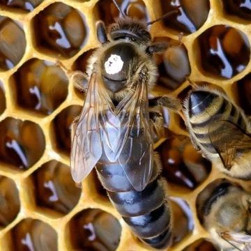 Matki pszczele KRAINKA unasienione