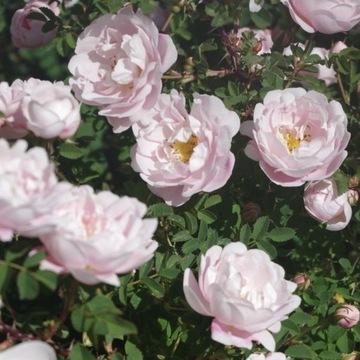Róża gęstokolczasta 'Papula'