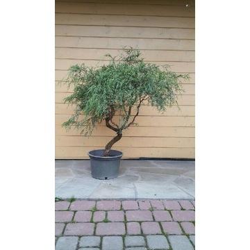 Cyprysik groszkowy bonsai