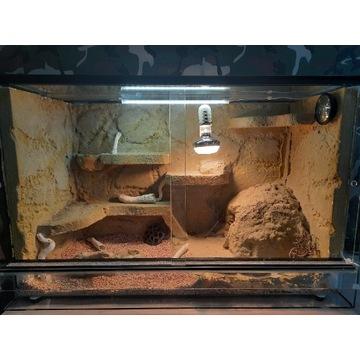 Terrarium 80x50x40cm + gekon lamparci