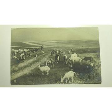 Kozy na drodze, pasterz, 1903, Szwajcaria