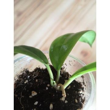 Hoya incrassata ukorzeniona sadzonka
