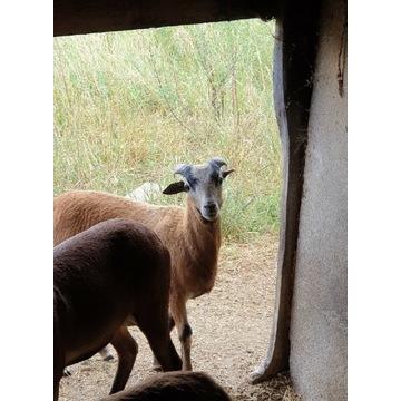 Owca kameruńska sprzedam lub zamienię
