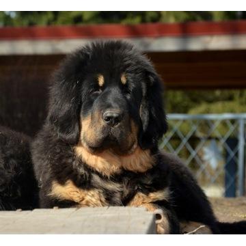 Mastif Tybetański - szczenięta