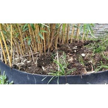 Żółty Bambus Drzewiasty Mrozoodporny z ogrodu