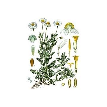 Rumian szlachetny rzymski sadzonki 2letnie bylina