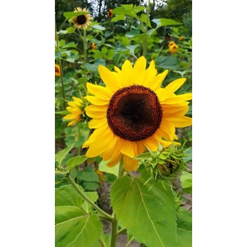 Nasiona słonecznika ozdobnego Faktura kwiat cięty