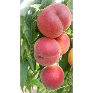 Brzoskwinia inka duży owoc  producent !!!