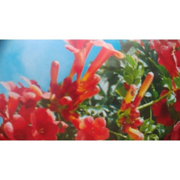 Milin Anerykański - kwitnące pnącze