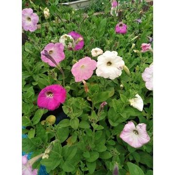 Petunia zwisająca, mix kolorów. Sadzonka
