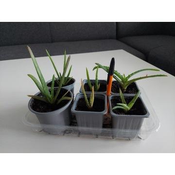 Aloes drzewiasty, aloe vera aloes leczniczy