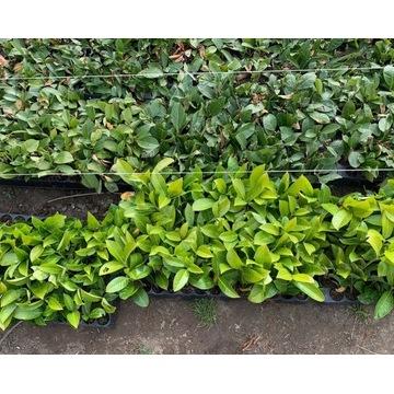 Laurowiśnia  Rotundifolia, żywopłot, 10-15 cm