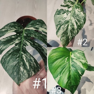 Monstera Variegata trzy liście sadzonka szczytowa