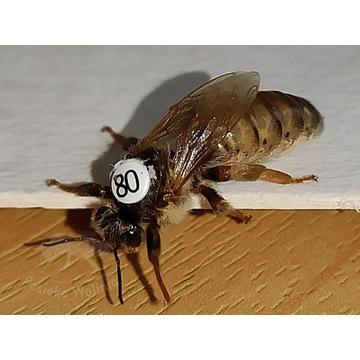 Matki pszczele ALPEJKA jednodniówka wysyłka 28.06